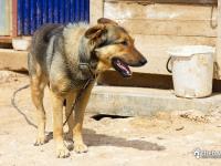 Сторожевая собака на поз. 18 (14 мрк)